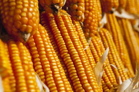 corn rows: Corn rows
