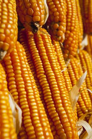 animal feed: Dried corn for animal feed Stock Photo