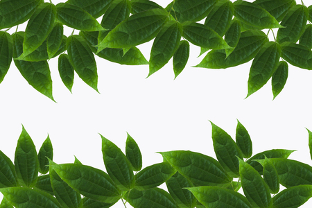 green leaves frame with isolated background