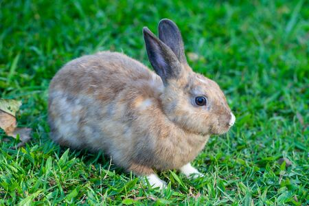 Cottontail bunny rabbit eating grass in the green garden