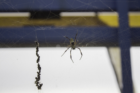orb weaver: Golden silk orb weaver spider scientific name Nephila Pilipes creating its large web soft blurr