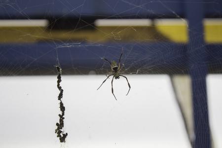 blurr: Golden silk orb weaver spider scientific name Nephila Pilipes creating its large web soft blurr