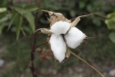industria textil: Natural stem of cotton flowers producing raw cotton for textile industry Foto de archivo