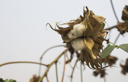 textile industry: Natural stem of cotton flowers producing raw cotton for textile industry Stock Photo