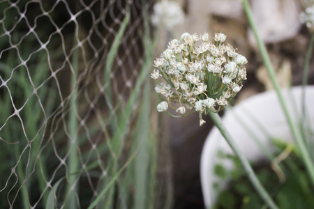 Blooming head of spring onion Stock Photo