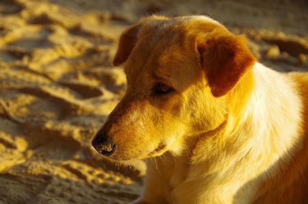 purebreed: sad dog Stock Photo
