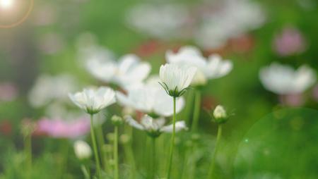 blurring: blurring white flower in bloom Stock Photo