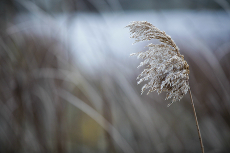 A lone standing reed is completely opened and ready for flowering. On a blurry background slightly blown by the wind 版權商用圖片