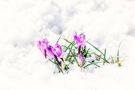 beautiful purple crocuses blossomed in the snow in March