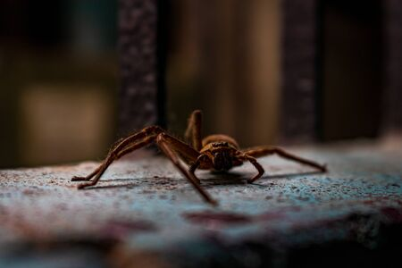 A beautiful and small common house spider resting on a wall. He has not three legs on his left side.