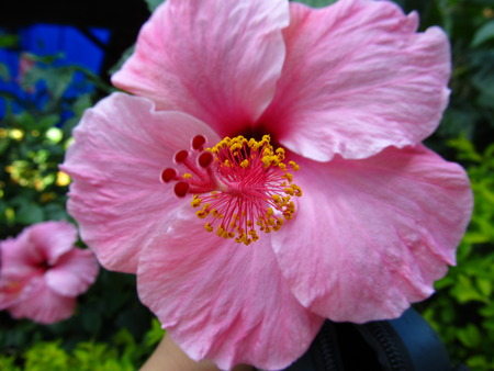 usp: The Hibiscus, as seen on one ofthe gardens from the University of SÃ £ o Paulo.