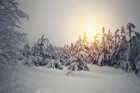the trees covered with snow: Beautiful winter nature landscape, trees covered snow Stock Photo