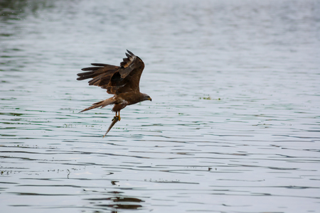 black kite: Milvus migrans. Brown black kite hold fish after hunt Stock Photo