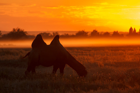 thar: Silhouette of camel eat grass at smoke sunset