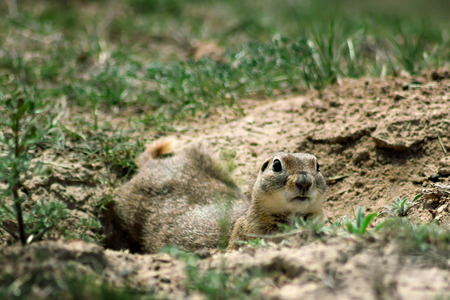 curiously: Gopher closeup in a Hole Looking Curiously Stock Photo