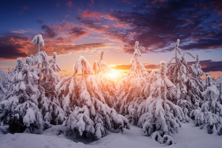 the trees covered with snow: Beautiful winter nature landscape. Trees covered snow Stock Photo