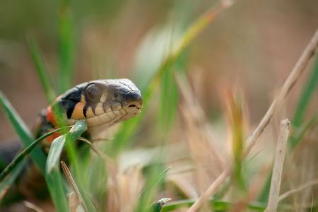natrix: Natrix snake hunting in green grass at summer day Stock Photo