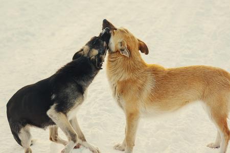 perros jugando: Dos perros jugando y un beso en la nieve en invierno