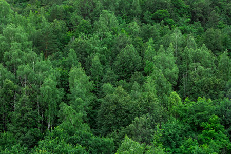 Green forest trees texture background. Nature landscape