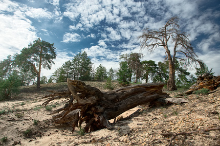 dropped: Big dropped dead tree with big roots in pine forest Stock Photo