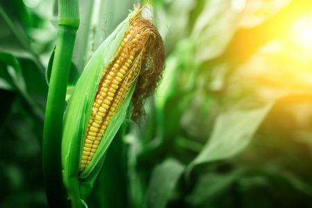 Fresh cob of ripe corn on green field at sunset Stok Fotoğraf