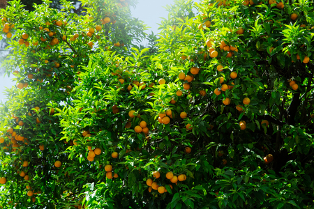 Orange fruit on tree in city garden