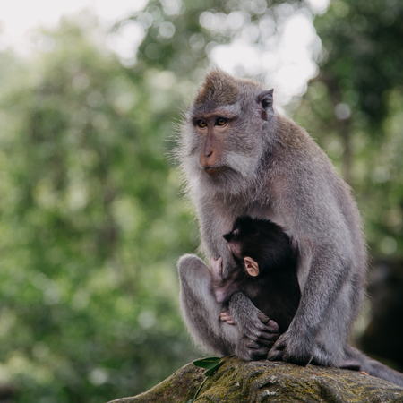 Monkeys in Ubud Sacred Monkey Forest. Bali, Indonesia Stock Photo