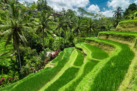 Green cascade rice field plantation at Tegalalang terrace. Bali, Indonesia Banco de Imagens