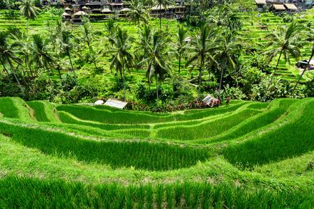 Green cascade rice field plantation at Tegalalang terrace. Bali, Indonesia Stock Photo