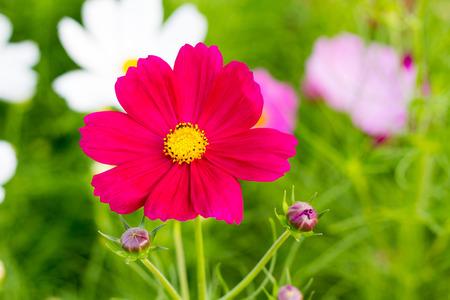 Cosmos flowers in garden thailand photo