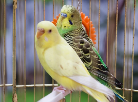 exotic pet: yellow and green parrots in  cage outdoor
