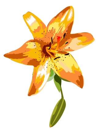 orange lily: Orange lily, spring flower on a white background and a bud. Illustration