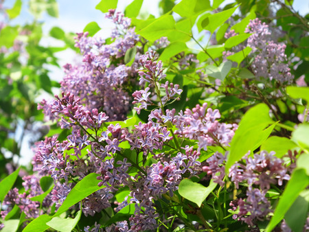 Beautiful lilac flowers with leaves photo