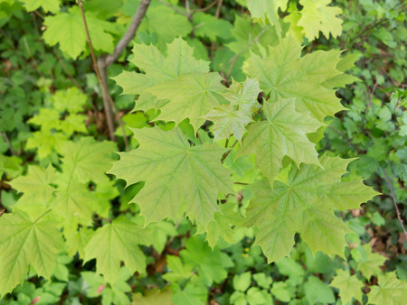 norway maple: Fresh green leaves of a norway maple