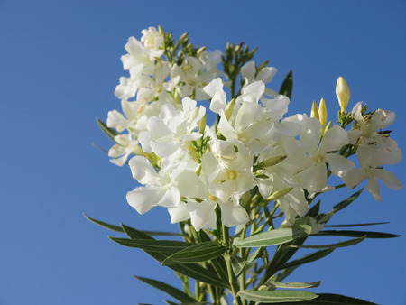 Branch of oleander shrub with white blossoms photo