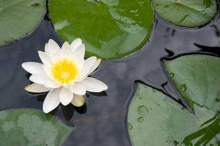 lirio blanco: Lirio blanco en un estanque Foto de archivo