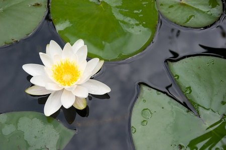 White lily in a pond photo