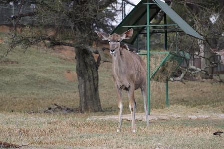 johannesburg: Antelope at the Johannesburg, South Africa Stock Photo