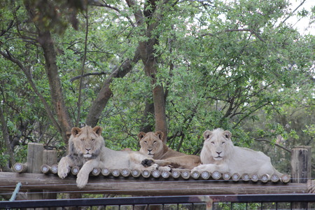 johannesburg: Lions lying down at the Johannesburg Zoo, South Africa Stock Photo