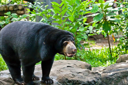 arboreal: Asiatic black bear