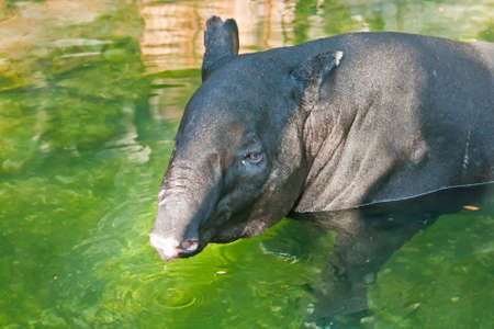 Tapir in the pool Stock Photo - 13592093
