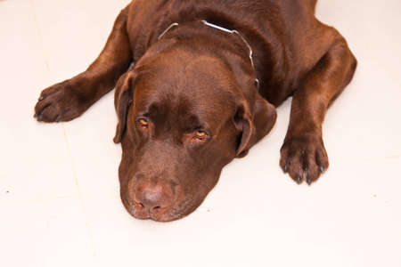 brown labrador photo