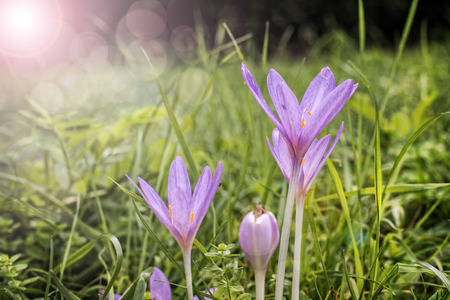 timeless: Autumn crocus flowers in a forest