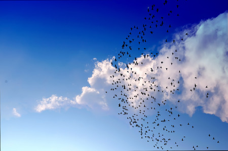 Flock of birds flying across the blue sky Stock Photo