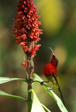sunbird: Crimson Sunbird ready to collect Honey Stock Photo