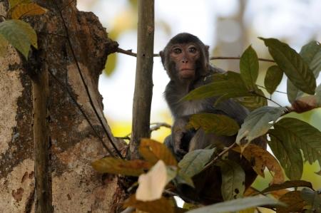 macaque: Rhesus Macaque  Stock Photo