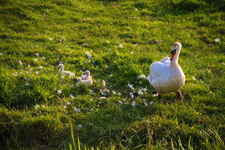 New life of the Swan