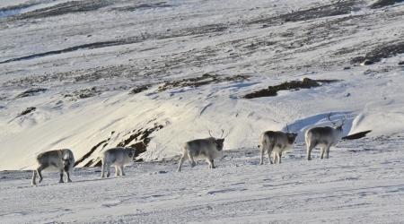 svalbard: Five reindeers in Svalbard