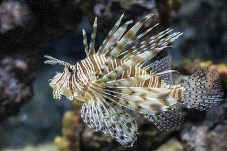 lionfish: A lionfish