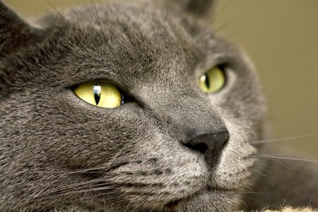far off: Beautifully detailed close up of a wonderful looking cat with a far off look on his face.